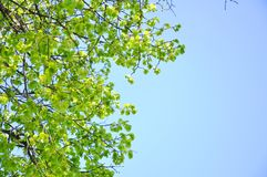 Branches of a green tree against the sky stock images