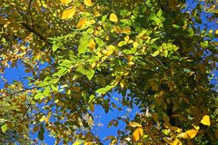BRANCHES WITH GREEN AND YELLOW LEAVES IN AUTUMN stock photo
