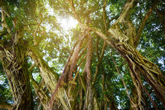 Branches and hanging roots of giant banyan tree on the Big Island of Hawaii. USA stock photo