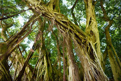 Branches and hanging roots of giant banyan tree on the Big Island of Hawaii Stock Images