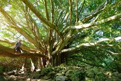 Branches and hanging roots of giant banyan tree growing on famous Pipiwai trail on Maui, Hawaii Stock Image