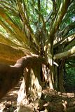 Branches and hanging roots of giant banyan tree growing on famous Pipiwai trail on Maui, Hawaii. USA Royalty Free Stock Photos