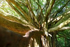 Branches and hanging roots of giant banyan tree growing on famous Pipiwai trail on Maui, Hawaii. USA Stock Images