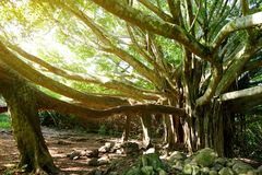Branches and hanging roots of giant banyan tree growing on famous Pipiwai trail on Maui, Hawaii. USA Royalty Free Stock Images