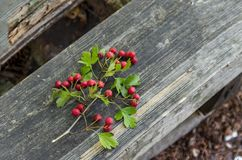 Branches of Hawthorn or Crataegus berries and leaves Stock Photos