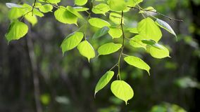 Branches of hazel in the natural environment in spring with green leaves. A branch with green juicy leaves swaying in the wind on a green background stock video