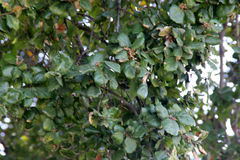 Branches of Heritage Tree, Coast Live Oak, Ficus agrifolia Stock Photo