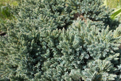 Branches of Himalayan juniper with bluish green needles. Branches of the Himalayan juniper with bluish green needles Stock Photos