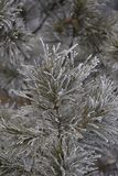 Branches in hoarfrost. Green needles. Small cones Stock Image