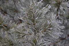 Branches in hoarfrost. Green needles. Small cones Stock Photo