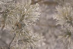 Branches in hoarfrost. Green needles. Small cones. Horizontal Royalty Free Stock Images