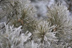 Branches in hoarfrost. Green needles. Small cones. Horizontal Stock Photos