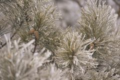 Branches in hoarfrost. Small cones. Green needles. Horizontal Stock Photography