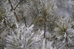 Branches in hoarfrost. Small cones. Green needles. Horizontal Stock Photos