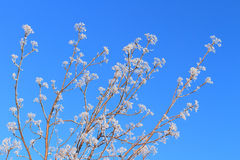Branches in hoarfrost Royalty Free Stock Photos