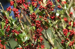 Branches of a Holly Tree Ilex aquifolium with their beautiful red berries. stock photography
