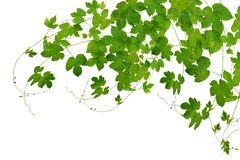 Branches hop with leaves isolated on white background without sh Royalty Free Stock Image