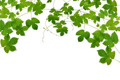 Branches hop with leaves isolated on white background without sh Stock Photos