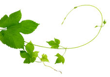 Branches hop with leaves isolated on white background without sh Stock Image