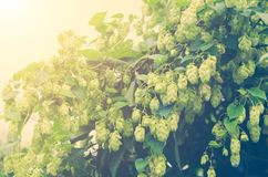 Branches of hops in sunlight, toned royalty free stock photos