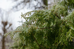 Branches in ice after freezing rain crust. Arborvitae branches in ice after freezing rain crust Stock Photography