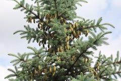 Branches impeccables bleues sur un fond vert Images libres de droits
