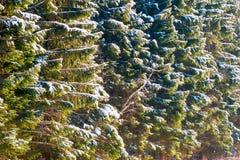 Branches impeccables dans une forêt conifére couverte de neige Images stock