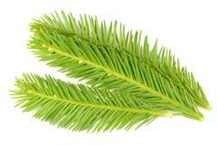 Branches impeccables vert clair d'isolement sur le fond blanc Image libre de droits
