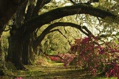 Branches incurvées de vieux arbres de chêne vivant couverts de buissons de mousse et d'azalée Images libres de droits