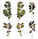 The branches isolated. Herbarium of the forest plants. Dried and pressed leaves. Stock Images