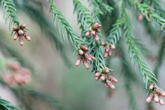 Branches of a Japanese red-cedar Cryptomeria japonica. Fresh branches of a Japanese red-cedar Cryptomeria japonica Stock Photos