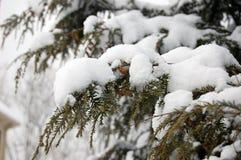 Branches japonaises de cigûe couvertes dans la neige image stock
