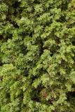 Branches of juniper - a background Royalty Free Stock Photo