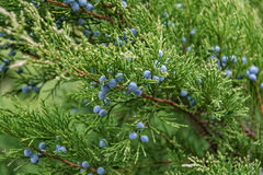 Branches of juniper with berries. Close-up Stock Photo