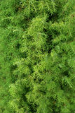 Branches of juniper Stock Images