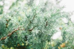 Branches of a juniper tree. Beautiful green forest background. Subtropical forest royalty free stock photography
