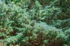 Branches of a juniper tree. Beautiful green forest background. Subtropical forest royalty free stock images