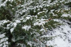 Branches of Juniperus squamata covered with snow. In winter Stock Image