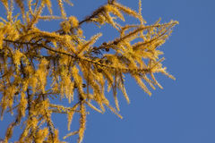 Branches of a larch tree in autumnal colors Stock Images