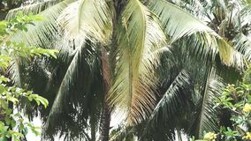 The branches of a large palm tree, swaying in the wind. Slowmo stock video