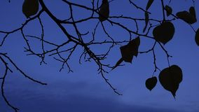 Branches with and without leaves against blue sky stock photography