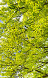 Branches and leaves of beech tree Stock Photo