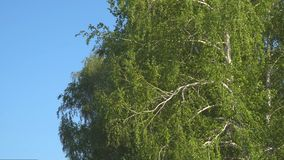 Branches and leaves of birch in the wind. Branches and leaves of birch tremble in the wind stock video