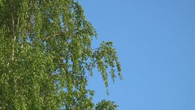 Branches and leaves of birch in the wind. Branches and leaves of birch tremble in the wind stock footage