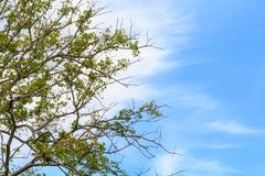 Branches and leaves of Bodhi Tree against a clouds and the blue sky. Royalty Free Stock Photos