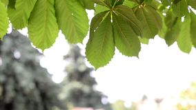 Branches leaves of a chestnut tree stock footage