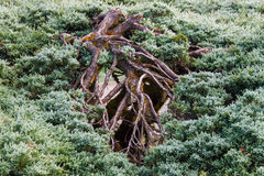 Branches. And leaves of coniferous Royalty Free Stock Image