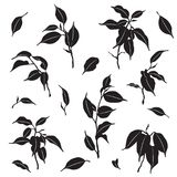 Branches and Leaves Ficus Silhouette. Tropical plant parts set. Silhouette of ficus Benjamina branches and leaves isolated on white. Black and white vector flat Royalty Free Stock Images