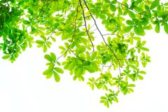 The branches and leaves are green on a white background. stock photos