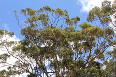 Branches and leaves of Karri trees against a blue sky and white clouds Stock Photos